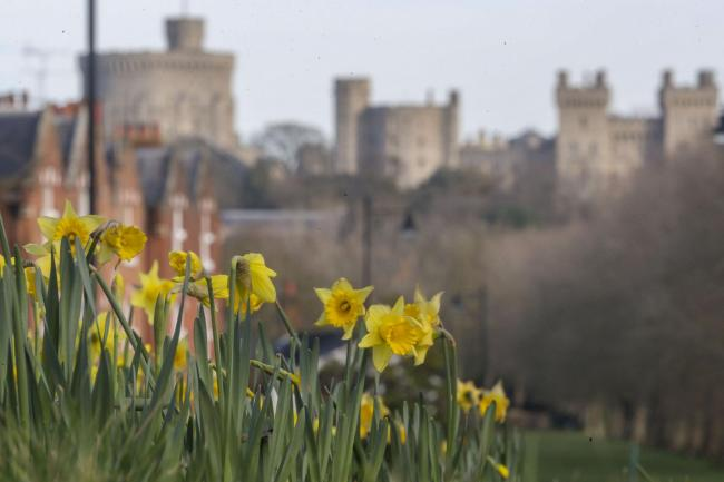 Daffodils near Windsor Castle