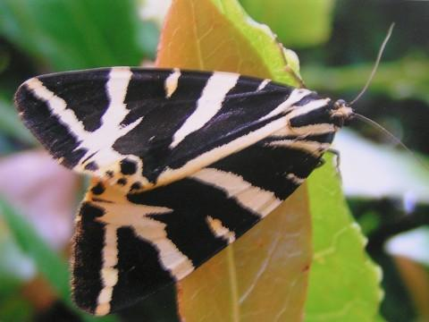 The Jersey Tiger moth