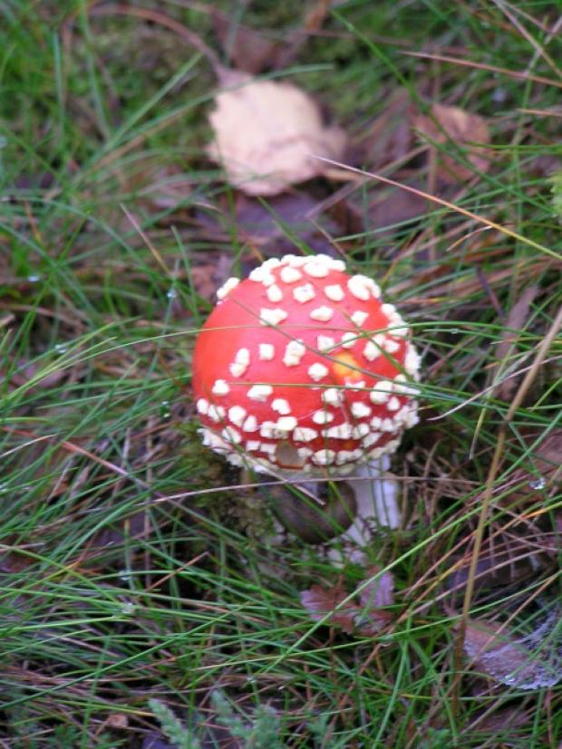 The fly-agaric