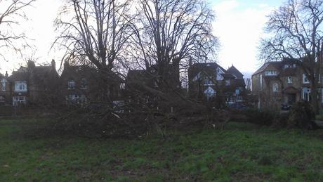 The tree uprooted on Putney Common
