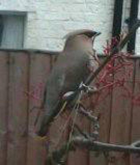 Rare waxwings spotted throughout Wandsworth