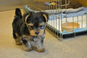 Tiny blind puppy looking for new home after breeder tried to have her euthanised