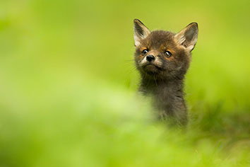 Peeking Red Fox Cub (c) Luke Wilkinson from the British Wildlife Photography Awards 2017.