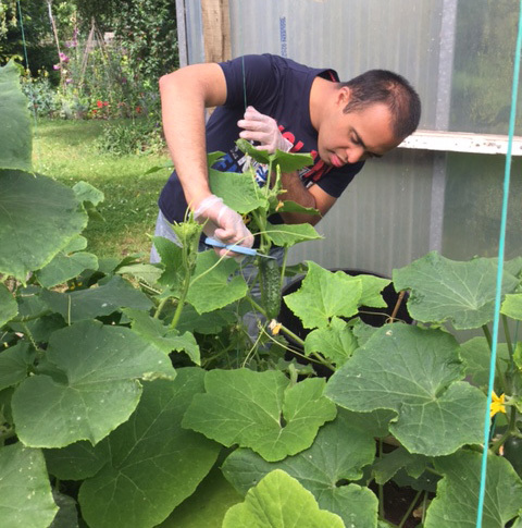 A share student harvesting cucumbers in the garden