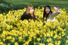 Tourists take photos with daffodils in St James's Park in London